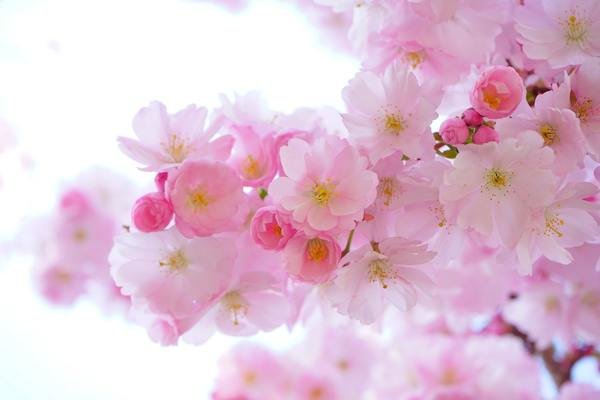 600x400 japanese cherry trees flowers spring japanese flowering cherry 54630